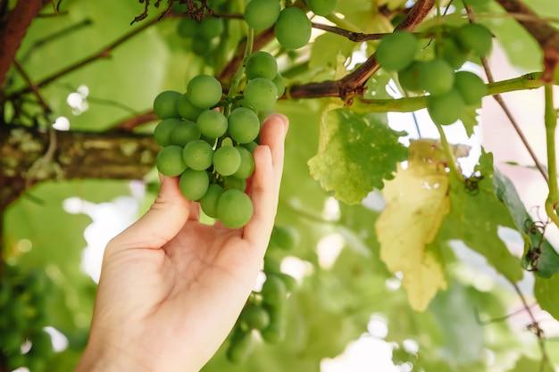 Main toucher la récolte des raisins. fermier examinant des raisins en croissance