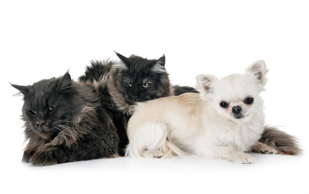 Maine coon cats et chihuahua