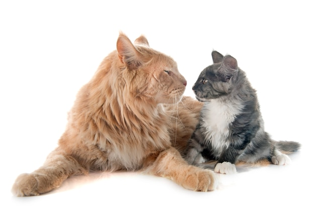 Maine coon chat et chaton