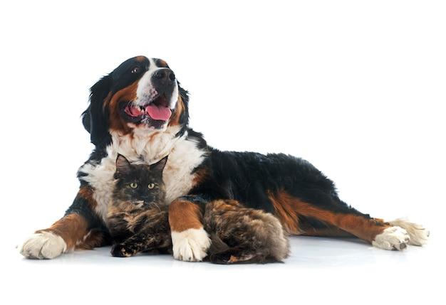 Maine coon chat et chien de montagne bernois