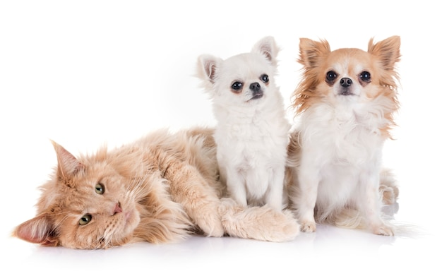 Maine coon chat et chihuahua