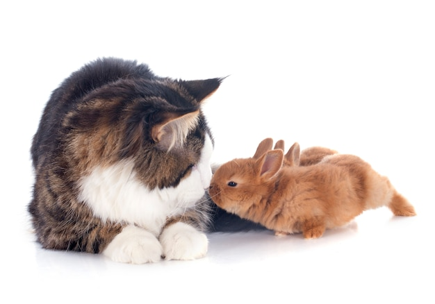 Maine coon chat et lapin