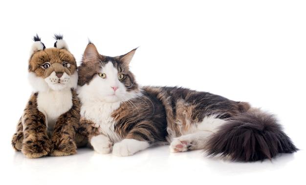 Maine coon chat et peluche
