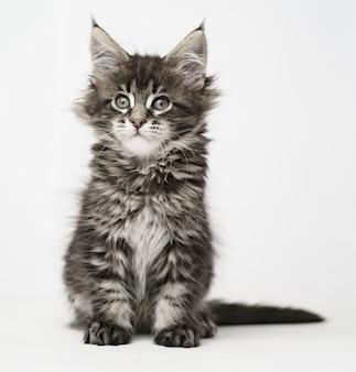 Maine coon chaton sur un chat léger et moelleux