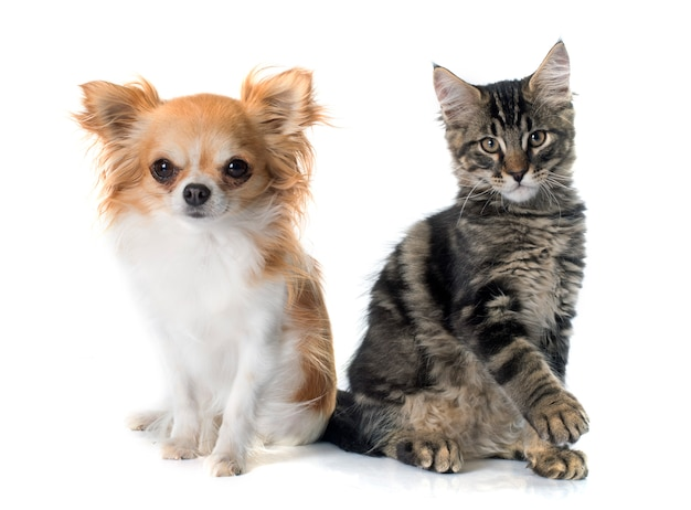 Maine coon chaton et chihuahua