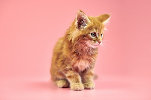 Maine coon chaton sur fond rose