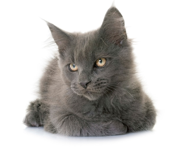 Maine coon chaton