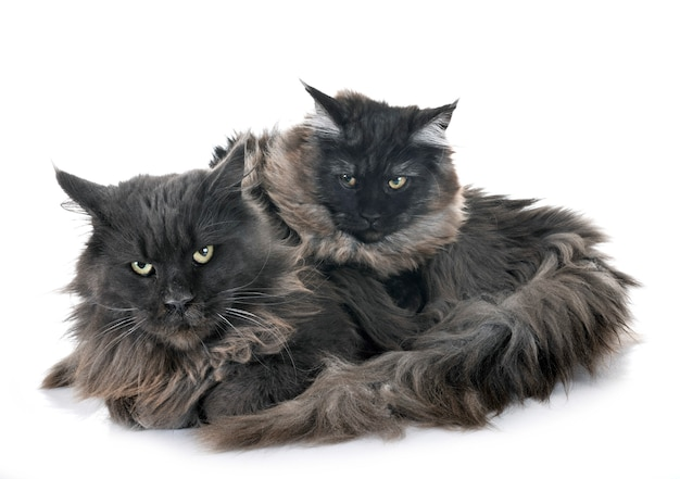 Maine coon chats