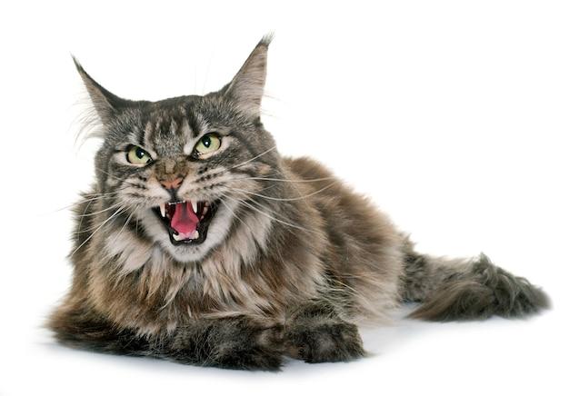 Maine coon en colère