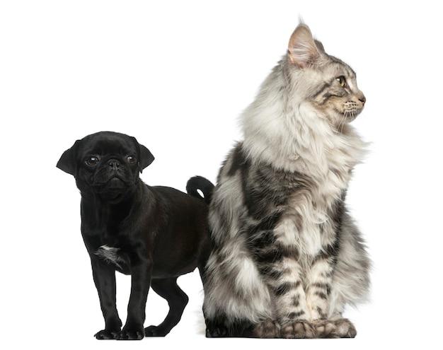 Maine coon et pug puppy devant un mur blanc