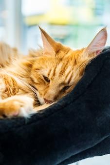 Maine coone cat géant au gingembre