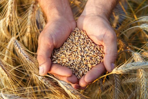 Les mains d'un agriculteur en gros plan tenant une poignée de grains de blé dans un champ de blé.