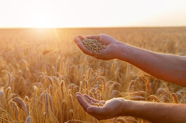 Les mains d'un agriculteur en gros plan versent une poignée de grains de blé dans un champ de blé.