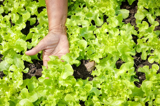 Les mains des agriculteurs font de l'agriculture attrapez des salades vertes biologiques dans la parcelle de terrain