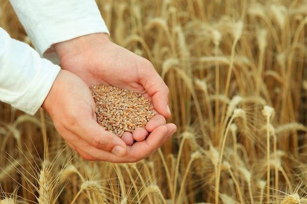 Mains d'agriculteurs avec gros plan de grains de céréales sur le fond d'un champ de blé