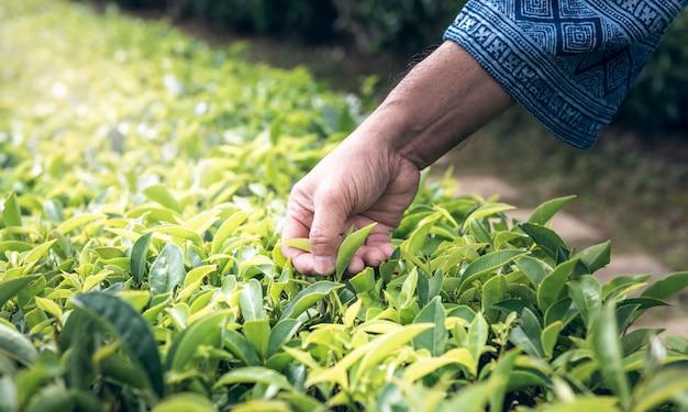 Les mains des agriculteurs qui récoltent les feuilles de l'arbre à thé