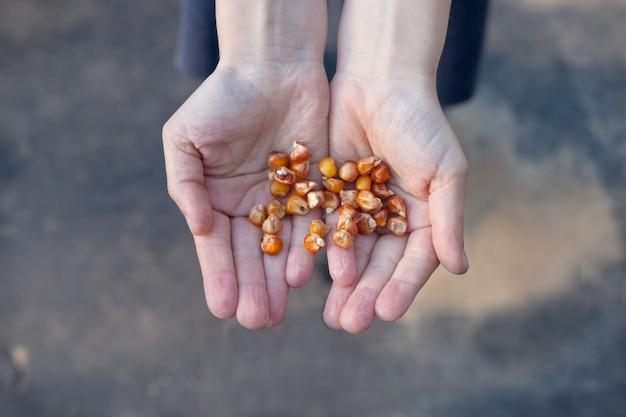 Les mains de bébé tiennent des graines de maïs. préparation à l'atterrissage.