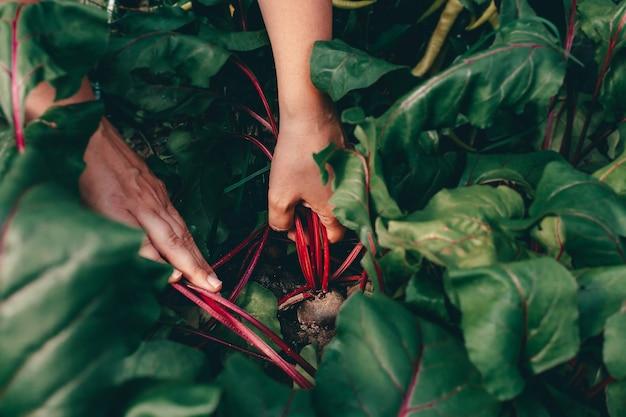 Les mains avec la betterave pendant la récolte à la ferme