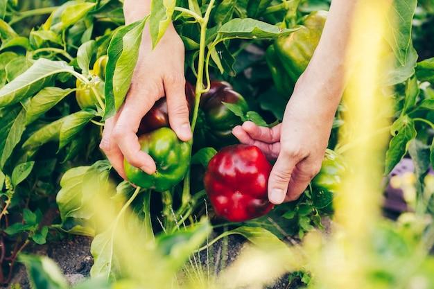 Mains cueillant un poivre de la plante