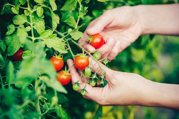 Mains cueillant une tomate de la plante