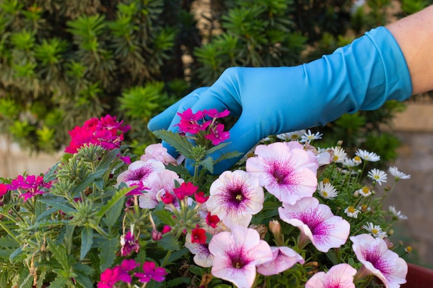 Mains dans des gants bleus en prenant soin de fleurs colorées dans une serre. botanique