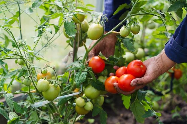Les mains du fermier tiennent des tomates.