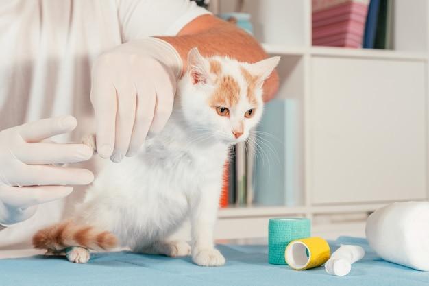 Les mains du vétérinaire masculin dans les gants tiennent le chaton blanc et gingembre, sur la table pour l'examen médical