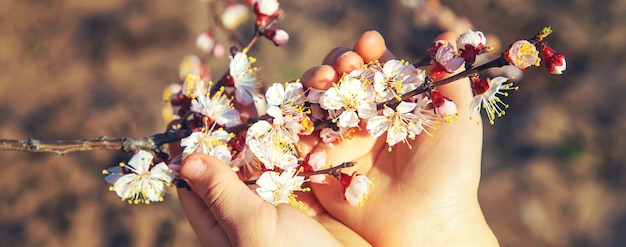 Mains d'un enfant tenant une branche d'arbre en fleurs. mise au point sélective. la nature.