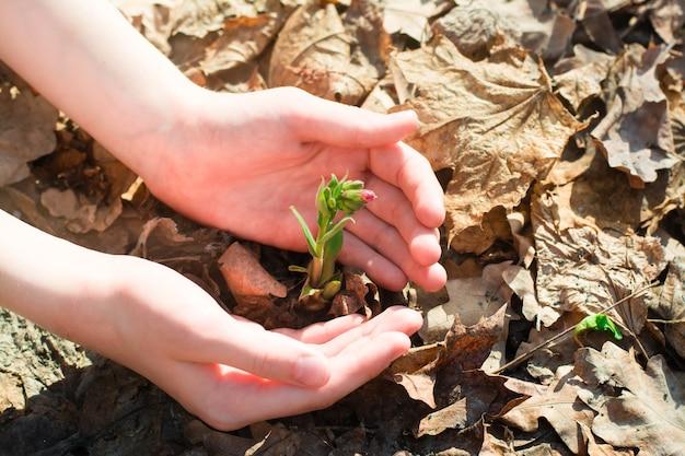 Les mains des enfants entourées avec soin d'une jeune pousse avec un bouton floral au sol dans la forêt parmi les feuilles de l'année dernière au printemps