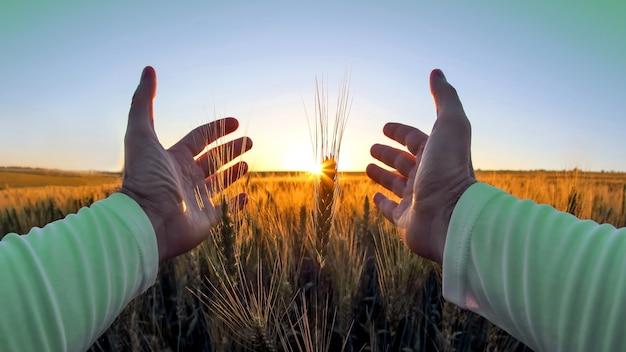 Les mains avec des épillets de blé contre le soleil couchant. le rapport de l'homme à la nature et aux récoltes