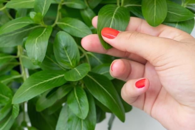Mains féminines avec clou rouge tenant la plante catharanthus