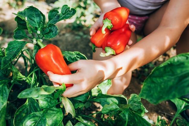 Les mains féminines tiennent le poivron rouge. récolte, nourriture saine et diététique.