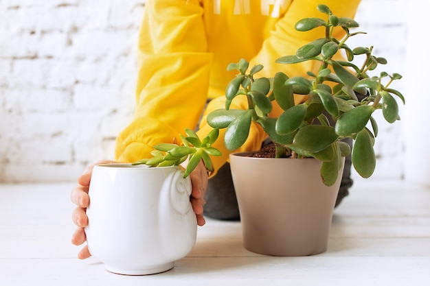 Mains de femme dans un pull jaune s'occupe des plantes à l'intérieur en pots.