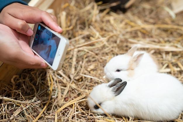 Mains de femme photographient le lapin nain des pays-bas.