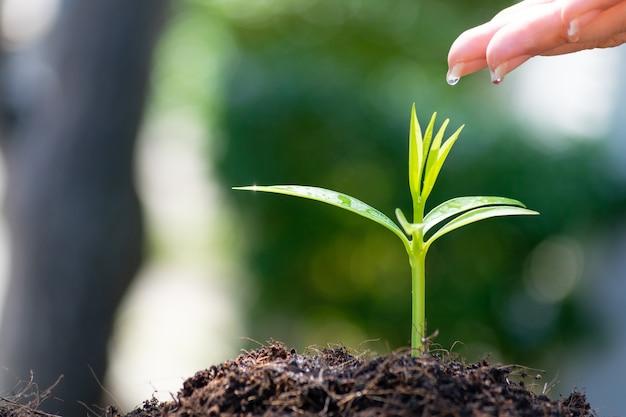 Mains de femme plantant et arrosant une jeune plante verte.