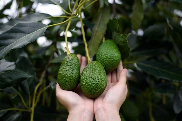 Des mains de femme récoltant des fruits biologiques frais et mûrs d'avocat hass