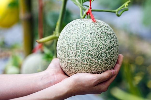 Mains de femme tenant le melon japonais frais dans la plantation de serre chaude