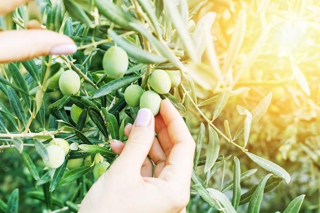 Mains de femme tenant des olives au lever du soleil. concept éco-vert. l'agriculteur récolte et cueille des olives.