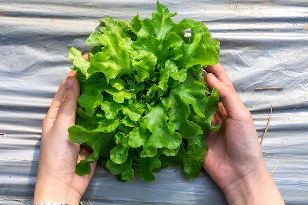Mains de femme tenant une salade de laitue.
