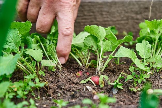 Les mains de femme tiennent la récolte de radis frais farmer picking in garden légumes biologiques