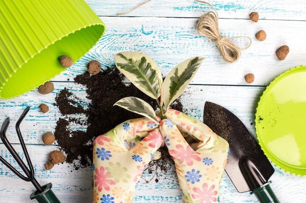 Les mains des femmes dans les gants planter une fleur en pot du ficus
