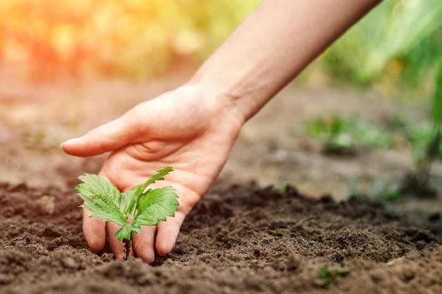 Les mains des femmes font germer le sol, gros plan