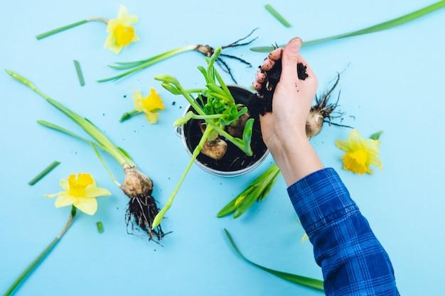 Mains de femmes plantant des bulbes de printemps. concept de jardinage.