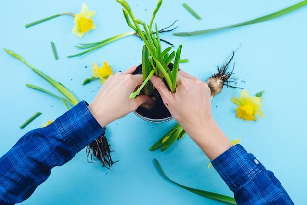 Mains de femmes plantant des bulbes de printemps sur fond bleu. concept de jardinage.