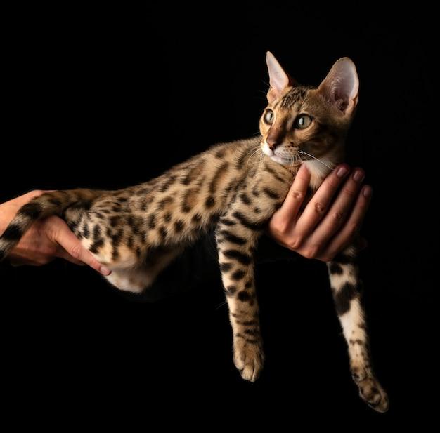 Des mains de femmes tiennent un chat de race bengal.