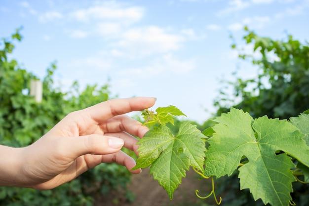 Les mains de la fille touchent la récolte des raisins. vignes à la main avec la lumière du soleil