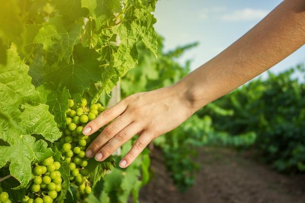 Les mains de la fille touchent la récolte des raisins
