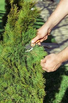 Mains d'homme qui coupe des branches de thuya avec un sécateur, dans un jardin au soleil. verticale