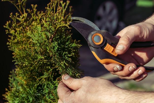 Mains d'homme qui coupe des branches de thuya avec un sécateur, dans le jardin au soleil