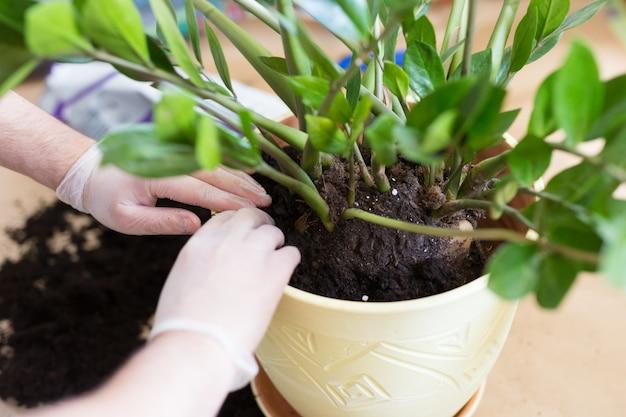 Les mains de l'homme rempotent des fleurs de zamioculcas à l'intérieur, la greffe de plantes d'intérieur à la maison. zamioculcas plante sur le sol avec des racines. empotage ou transplantation de plantes. plante d'appartement.